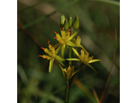 [http://ualresearchonline.arts.ac.uk/3787/1.hasmediumThumbnailVersion/Bog_asphodel_flower.jpg]